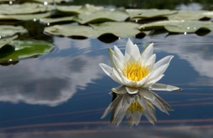 waterlily-enlight8